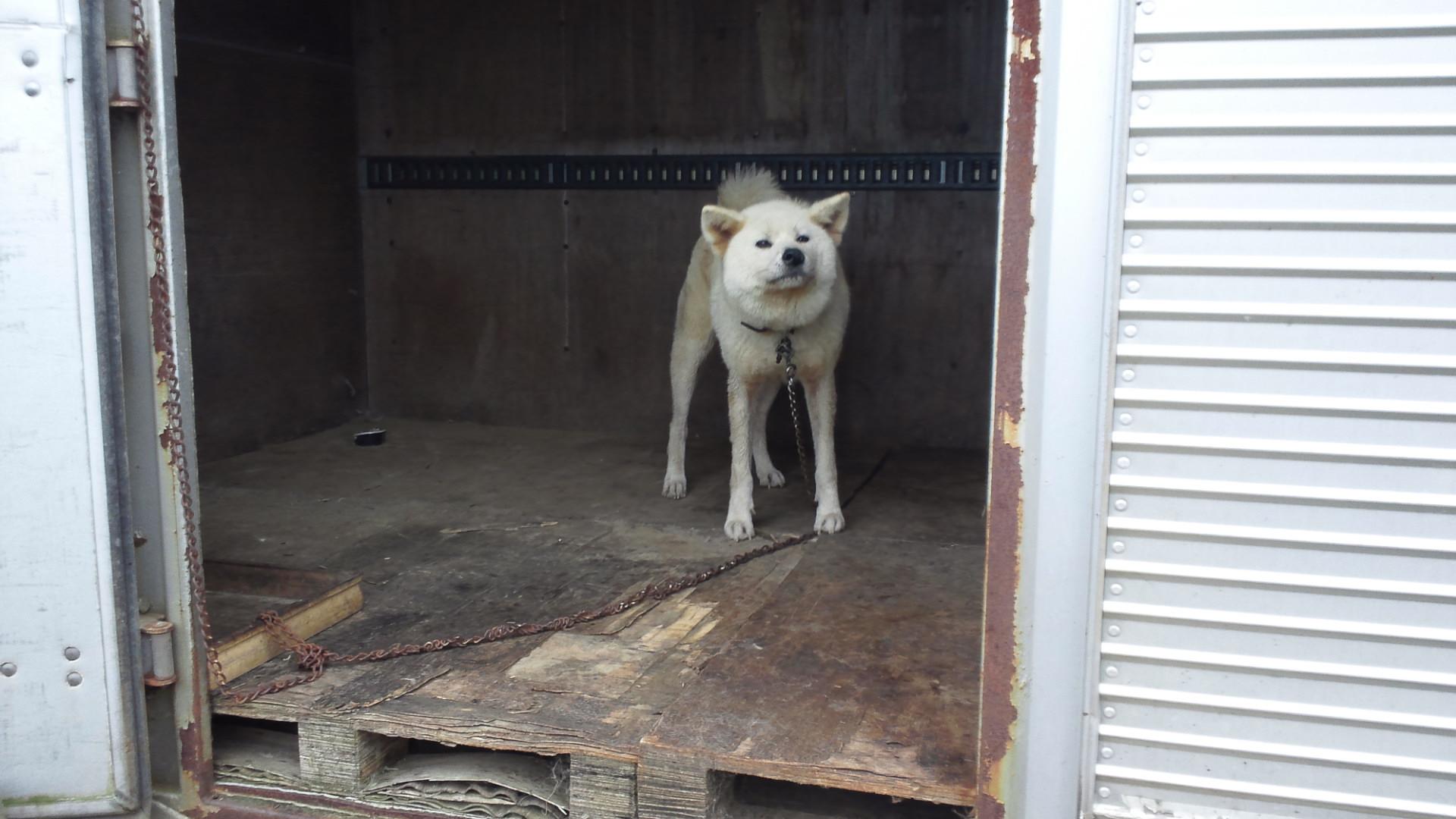 秋田犬のあっきぃ&いち_f0242002_20241286.jpg