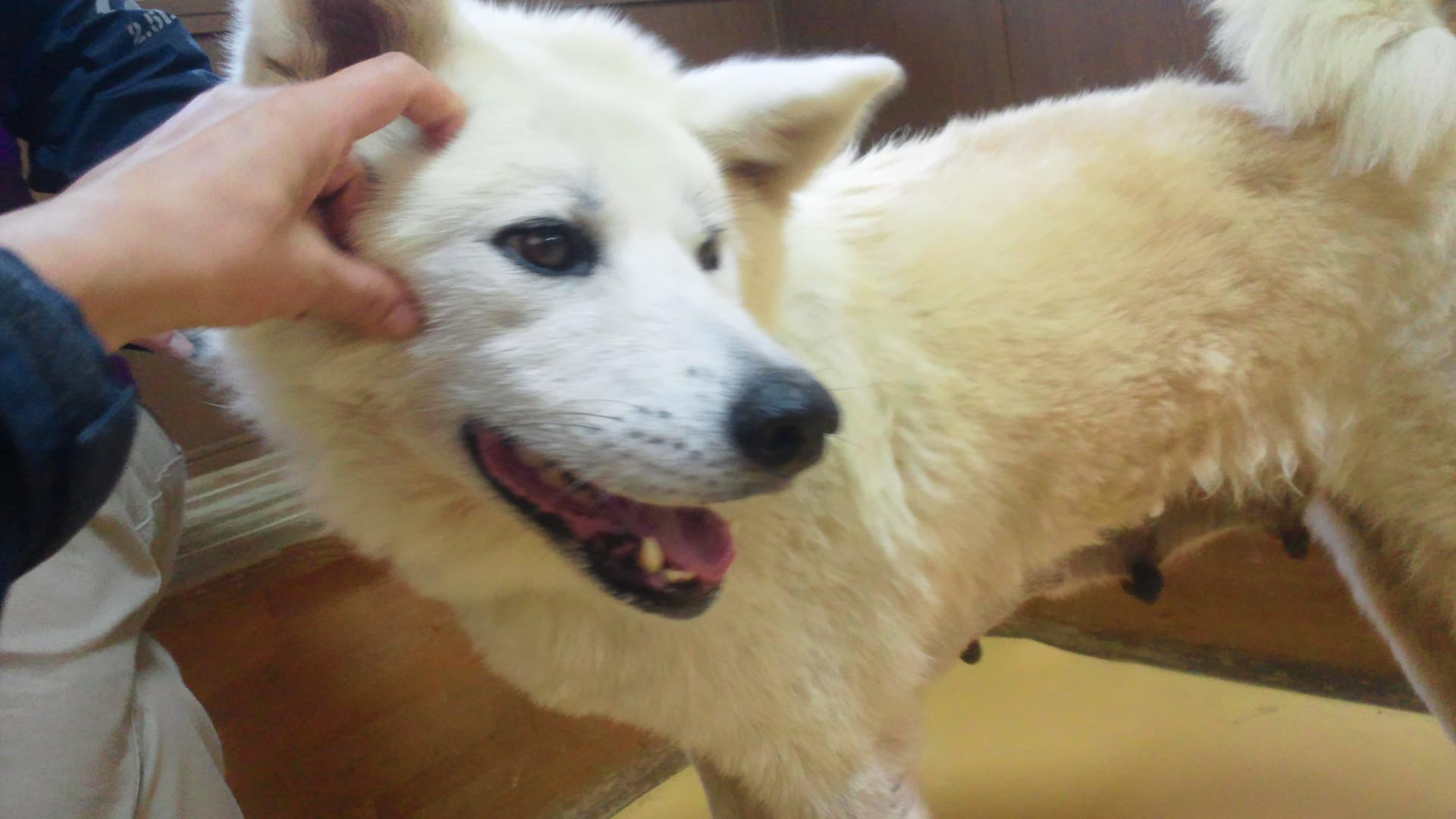 秋田犬のあっきぃ&いち_f0242002_20313899.jpg