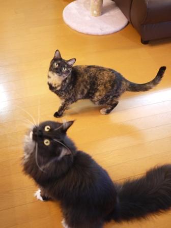 猫のお友だち ワサビちゃん天ちゃんう京くん編。_a0143140_20413083.jpg