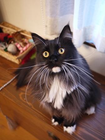 猫のお友だち ワサビちゃん天ちゃんう京くん編。_a0143140_20422515.jpg