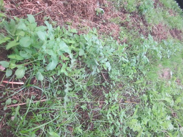 自然栽培ってほんとうにおもしろいですな_e0181260_200650.jpg
