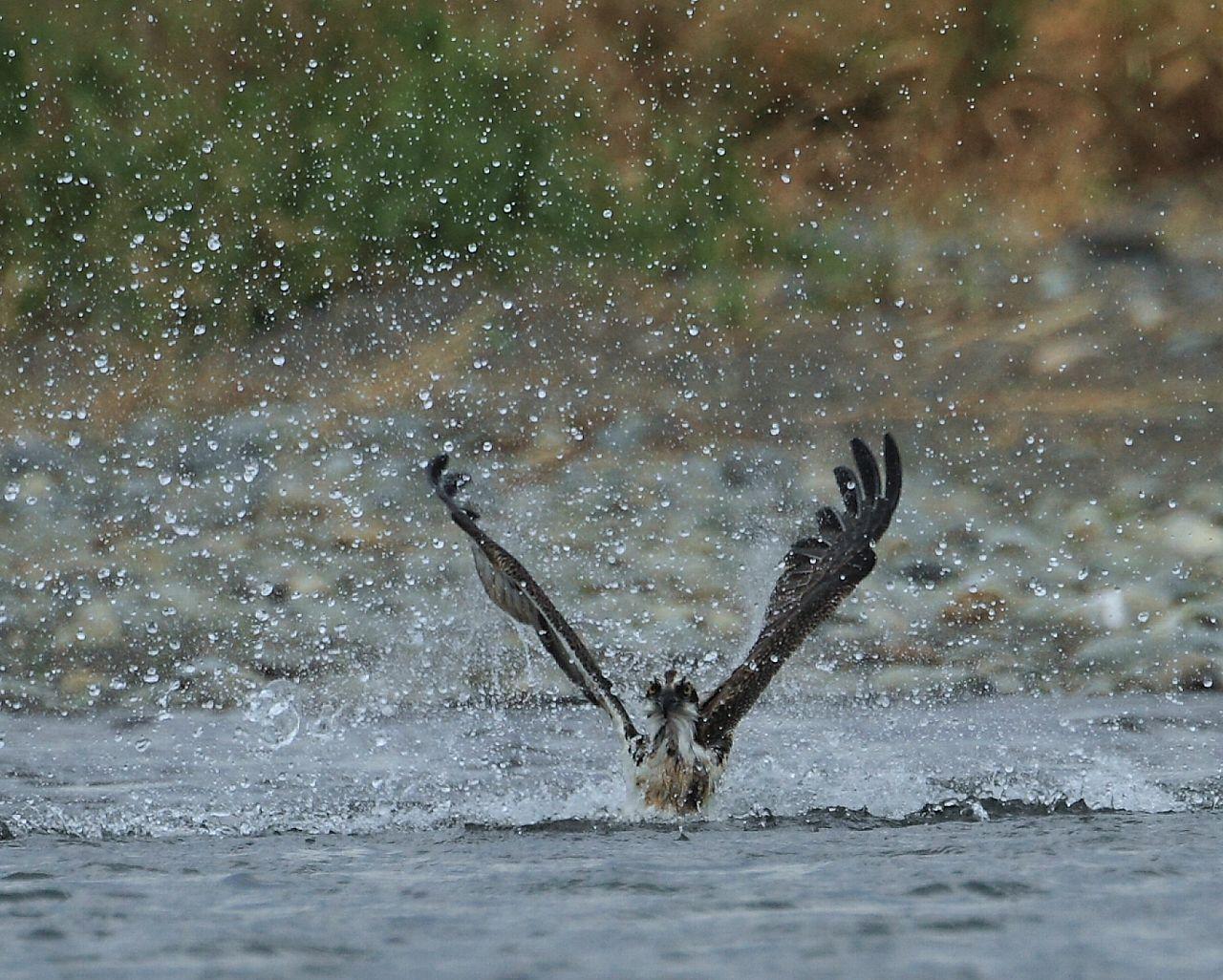 自宅そばの相模川ミサゴ、本日の漁は失敗_f0105570_18271980.jpg