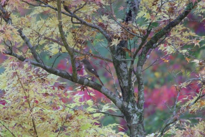 2014.11.3 新着情報・早戸川林道、神川橋・ベニマシコ、ジョウビタキ、ミサゴ_c0269342_17505142.jpg