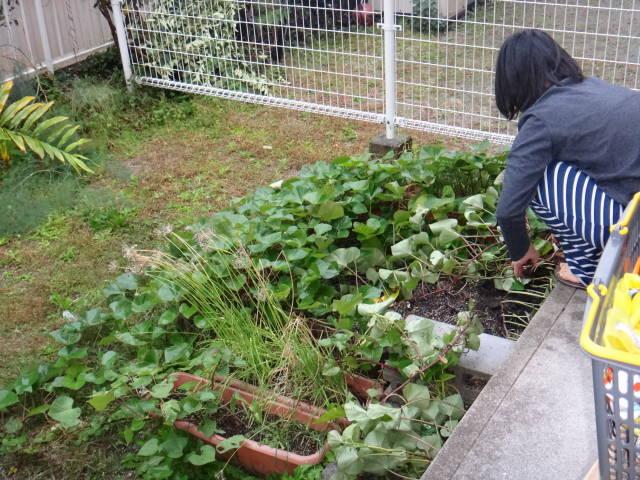 平成26年11月1日家庭菜園サツマイモ収穫_c0155364_2434926.jpg