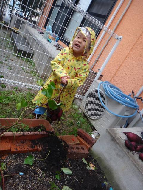 平成26年11月1日家庭菜園サツマイモ収穫_c0155364_2444029.jpg