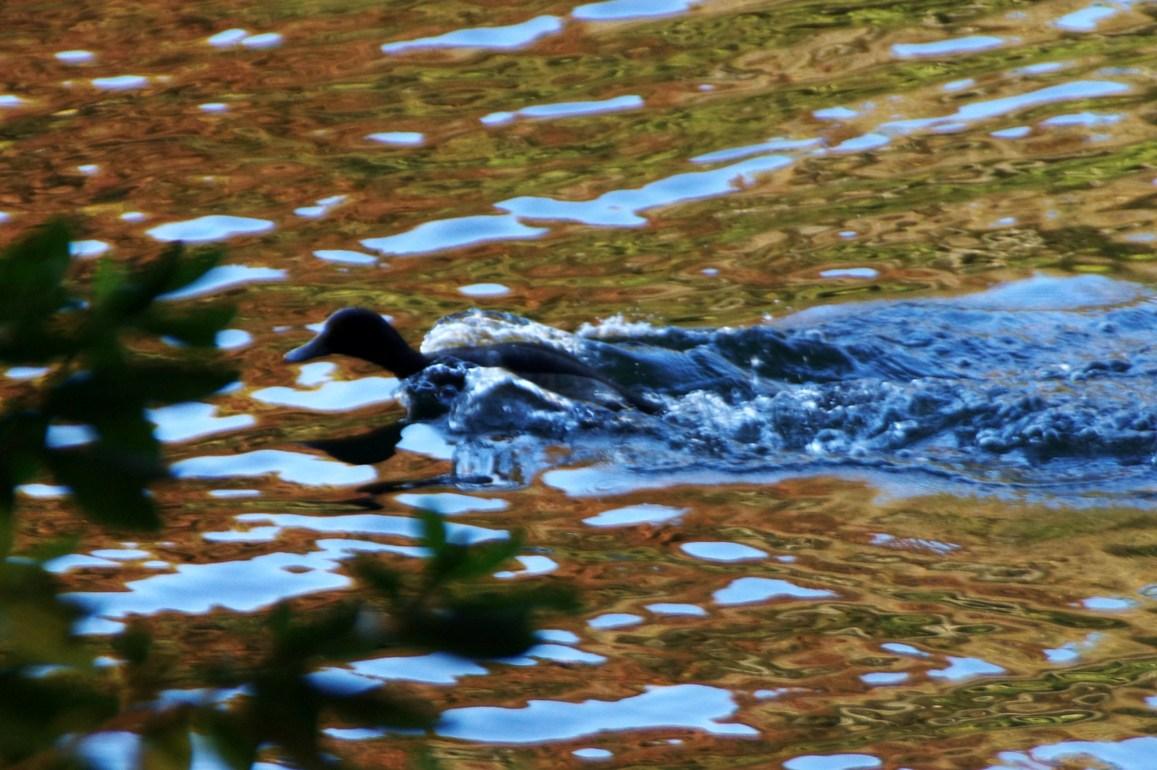 水の翼を纏う水鳥_f0006713_23255824.jpg