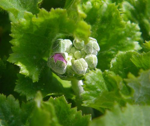 自家採取の種から育ったプリムラ・マラコイデスに蕾が~~♪_a0136293_18898.jpg