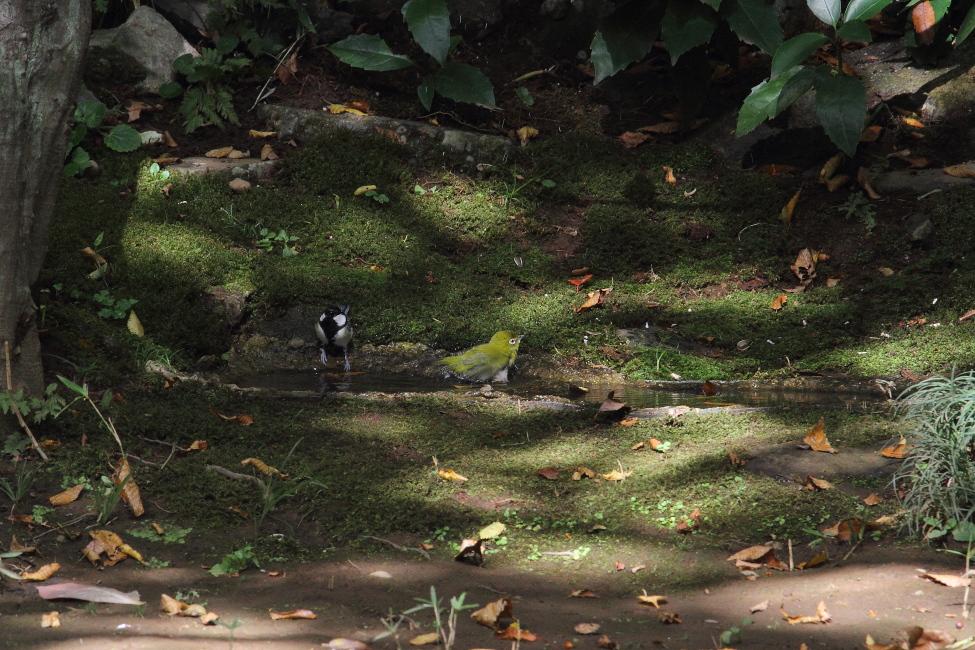 公園の小さな水溜まりは盛況_b0190710_2339110.jpg
