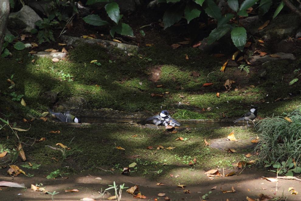 公園の小さな水溜まりは盛況_b0190710_23394990.jpg