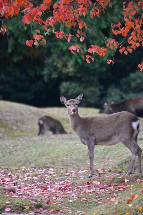 紅葉と鹿_d0285540_20125649.jpg
