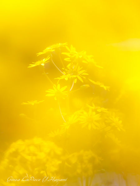 花のある風景 黄色の中のツワブキ_b0133053_0583710.jpg