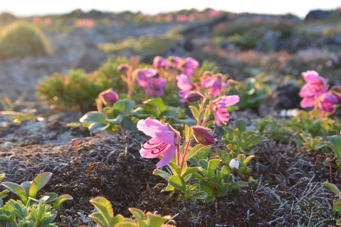 """2014年7月 大雪黒岳、北鎮岳、愛別岳、北海岳 July 2014 \""""Flowers in Taisetsu Mountains\""""_c0219616_1815754.jpg"""