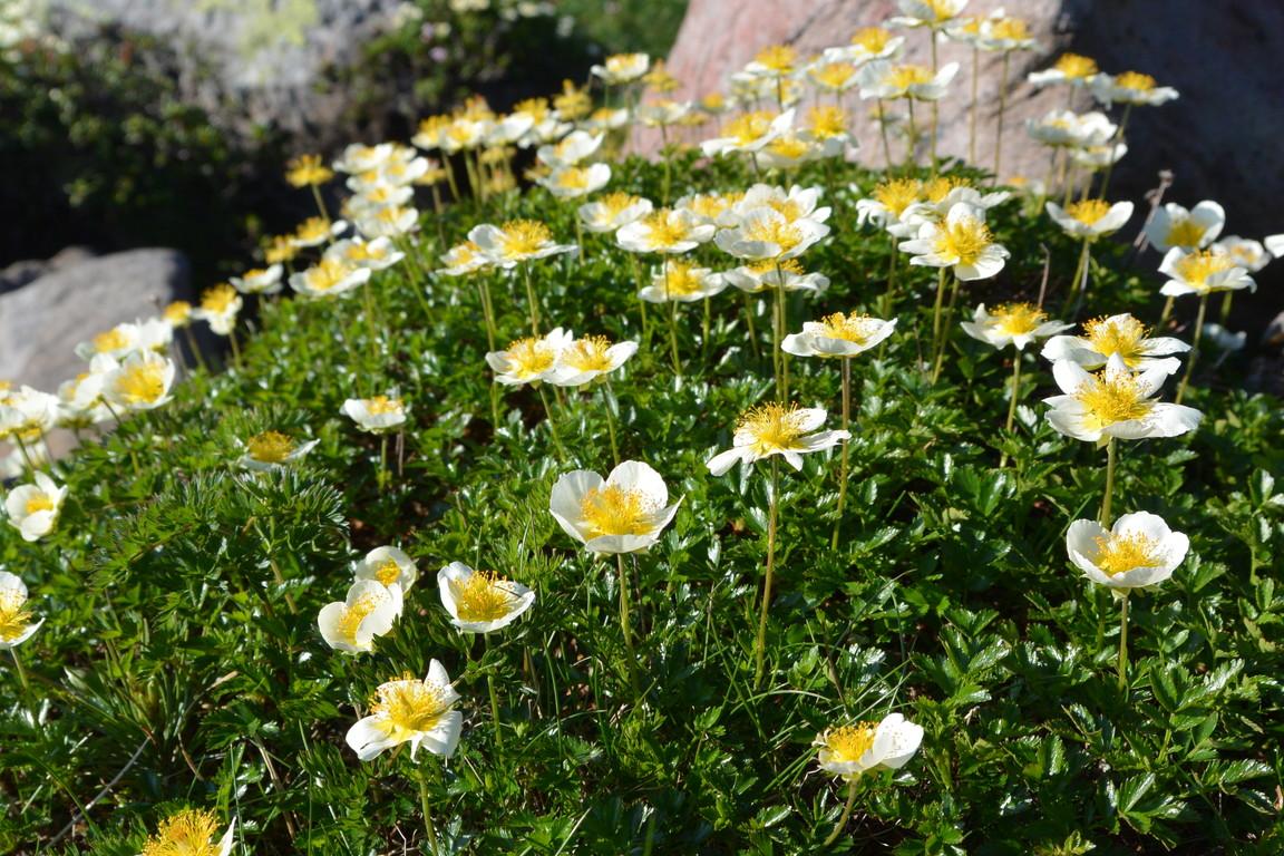 """2014年7月 大雪黒岳、北鎮岳、愛別岳、北海岳 July 2014 \""""Flowers in Taisetsu Mountains\""""_c0219616_18284063.jpg"""