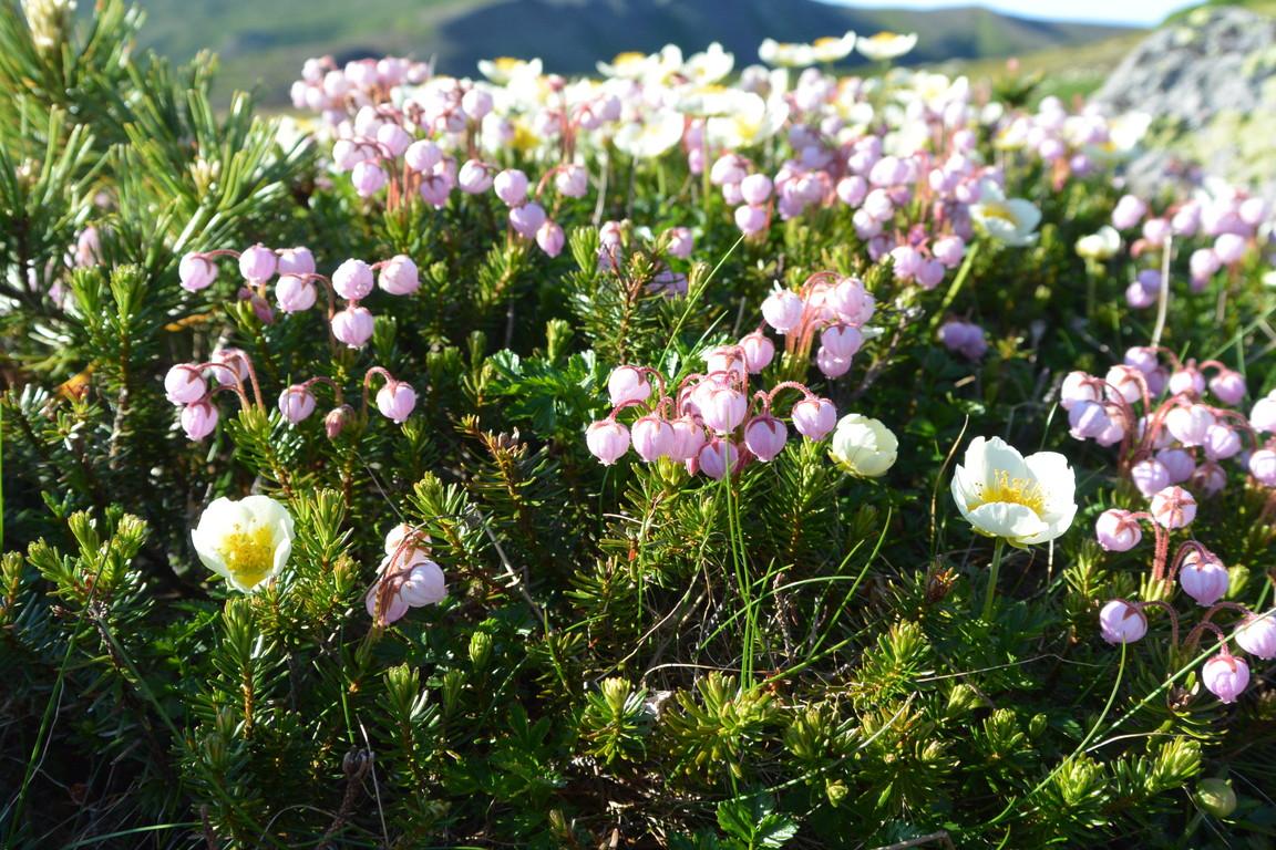 """2014年7月 大雪黒岳、北鎮岳、愛別岳、北海岳 July 2014 \""""Flowers in Taisetsu Mountains\""""_c0219616_18301797.jpg"""