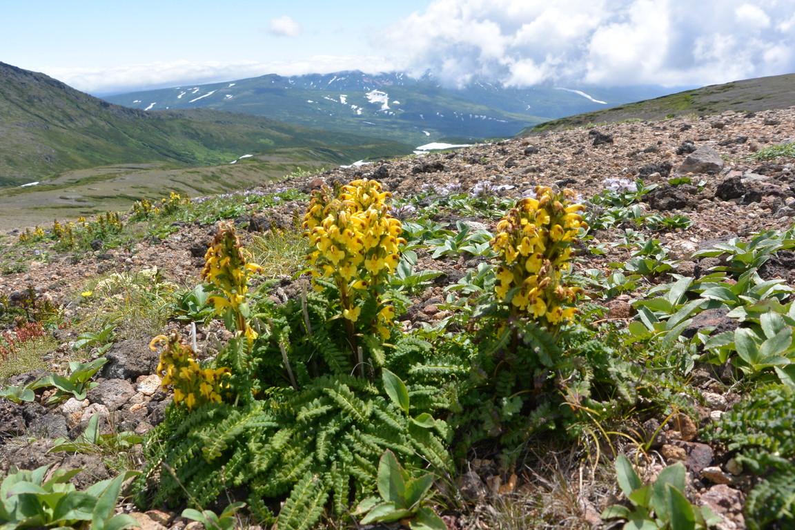 """2014年7月 大雪黒岳、北鎮岳、愛別岳、北海岳 July 2014 \""""Flowers in Taisetsu Mountains\""""_c0219616_18495560.jpg"""
