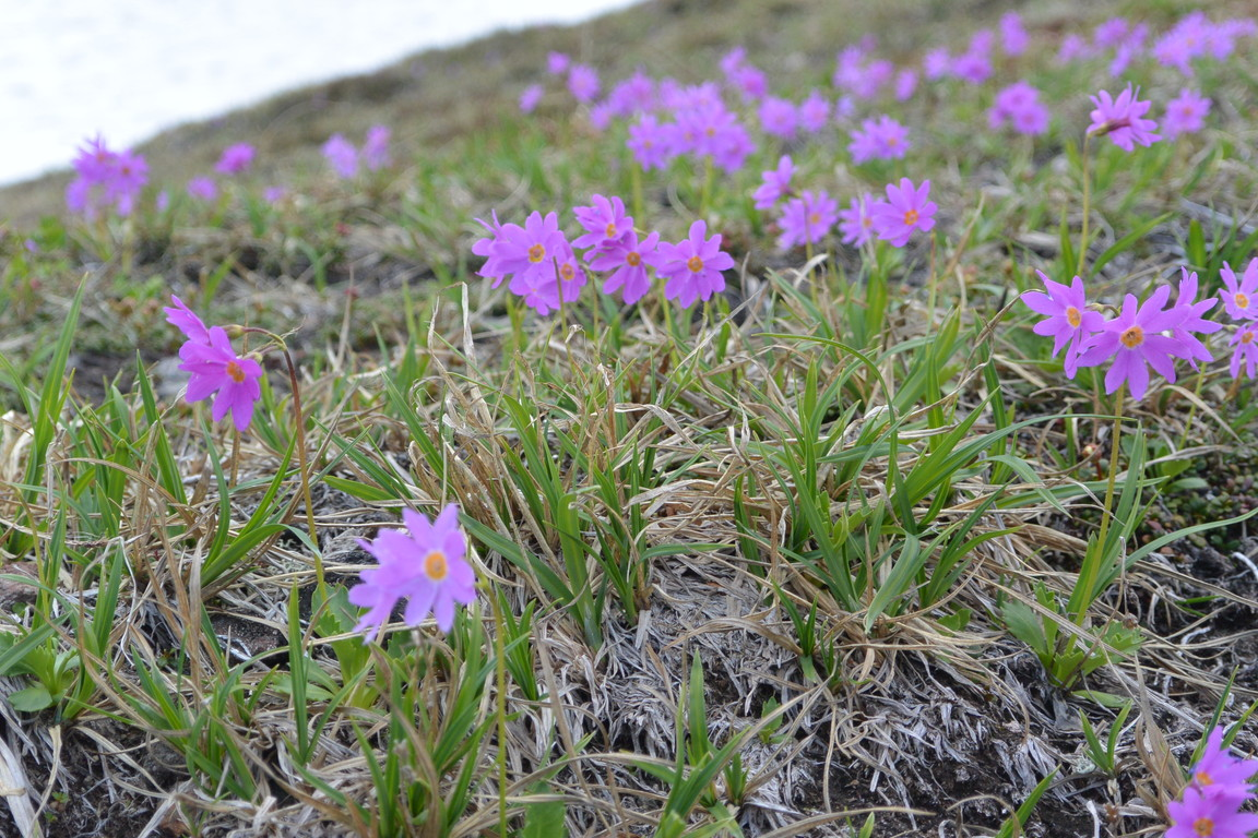 """2014年7月 大雪黒岳、北鎮岳、愛別岳、北海岳 July 2014 \""""Flowers in Taisetsu Mountains\""""_c0219616_18501683.jpg"""