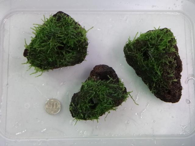 141106 熱帯魚・金魚・水草・観葉植物_f0189122_1431526.jpg