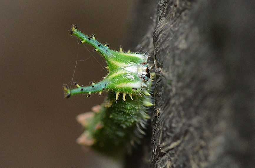 アカボシゴマダラの幼虫(2014年11月6日) _d0303129_23422264.jpg