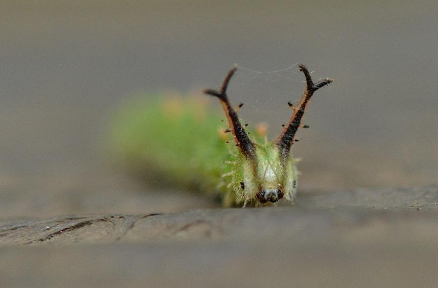 アカボシゴマダラの幼虫(2014年11月6日) _d0303129_23424632.jpg