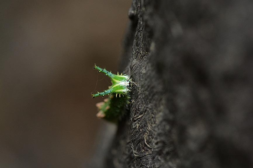 アカボシゴマダラの幼虫(2014年11月6日) _d0303129_23425417.jpg