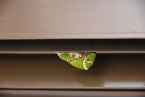 アトリエのアルミサッシにアゲハの幼虫発見「肖像画の益子」_b0174462_19072539.jpg