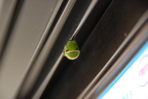 アトリエのアルミサッシにアゲハの幼虫発見「肖像画の益子」_b0174462_19074668.jpg