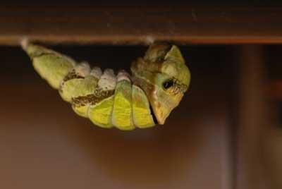 アトリエのアルミサッシにアゲハの幼虫発見「肖像画の益子」_b0174462_19112080.jpg