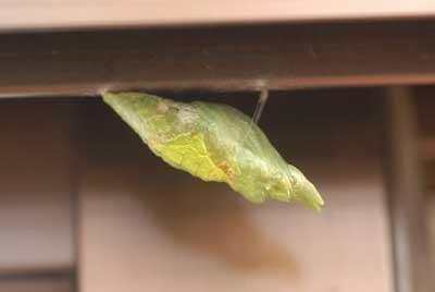 アトリエのアルミサッシにアゲハの幼虫発見「肖像画の益子」_b0174462_19113847.jpg