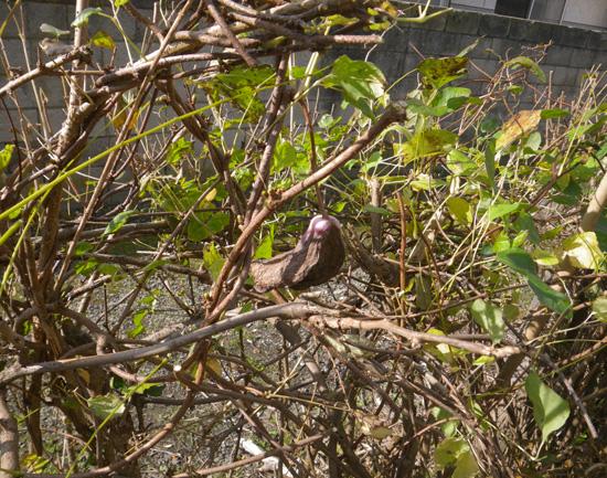庭の作業で見つけた実、カラスウリと・・・〇〇〇~♪_a0136293_1912229.jpg