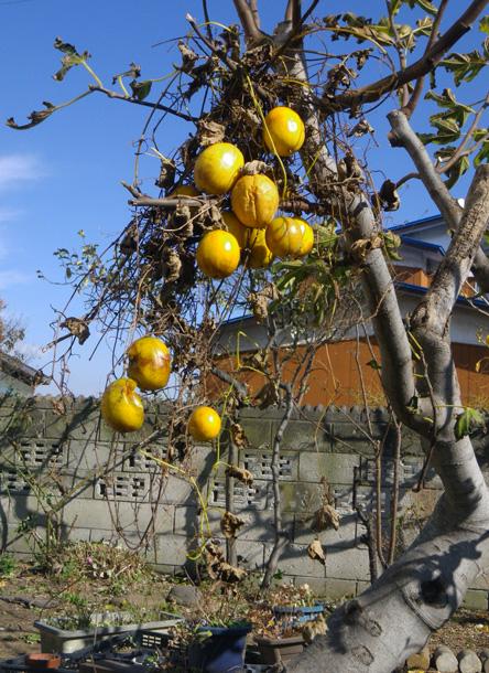 庭の作業で見つけた実、カラスウリと・・・〇〇〇~♪_a0136293_198494.jpg