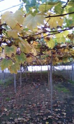 ぶどうの葉っぱも紅葉してます。_d0026905_1625460.jpg