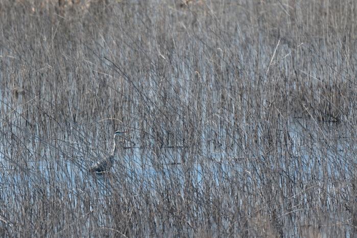 癖が!?【サンカノゴイ・ベニマシコ・アオサギ】_b0113228_1746919.jpg