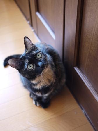 猫のお友だち ワサビちゃん天ちゃんう京くん編。_a0143140_23143052.jpg