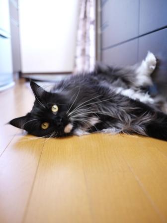 猫のお友だち ワサビちゃん天ちゃんう京くん編。_a0143140_2315355.jpg