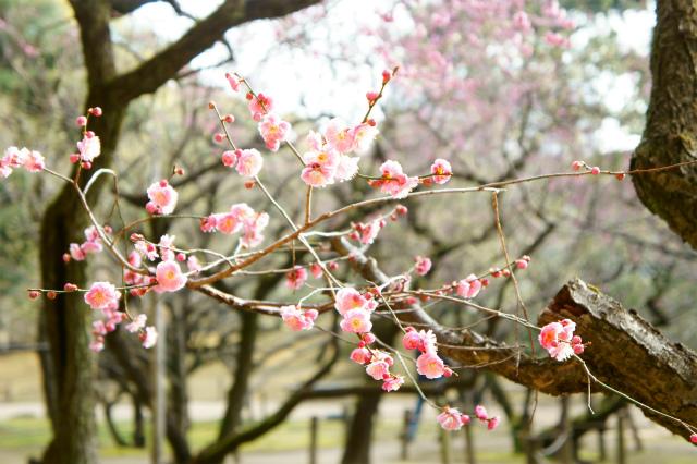 【広島】縮景園の梅_c0348200_16163150.jpg