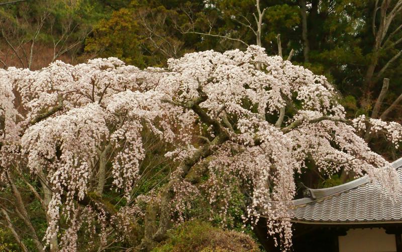 【兵庫】善福寺の糸桜_c0348200_16163619.jpg