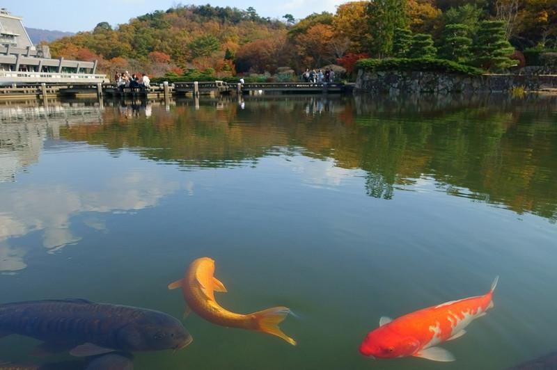 【京都】池の鯉_c0348200_16164739.jpg