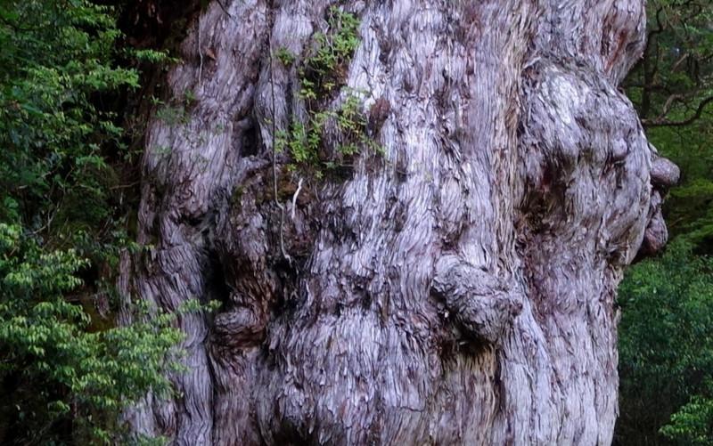 【鹿児島】杉の肌_c0348200_16165380.jpg