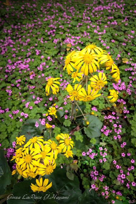 花のある風景 カタバミ ツワブキ_b0133053_041455.jpg