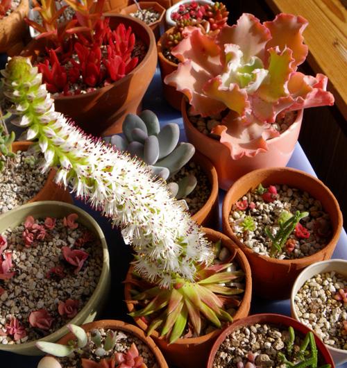 猫部屋に引っ越した多肉植物と、夏に仲間入りした爪蓮華など♪_a0136293_18373261.jpg