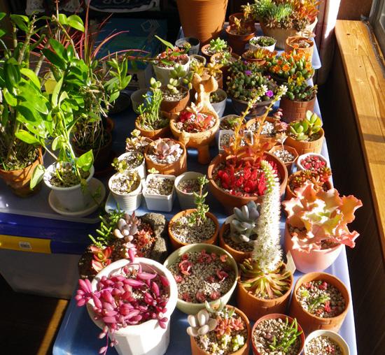 猫部屋に引っ越した多肉植物と、夏に仲間入りした爪蓮華など♪_a0136293_18463472.jpg