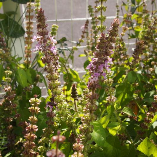 花壇のハーブ_a0292194_1861781.jpg