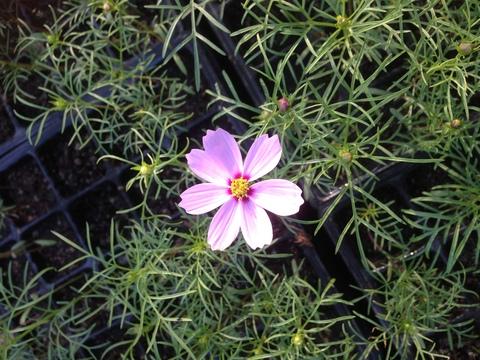 秋桜_b0172896_1752064.jpg