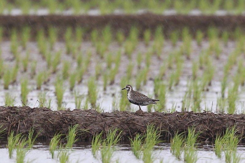 ムナグロは、わりと乾燥した場所を好み、淡水域に多い_b0346933_19233121.jpg