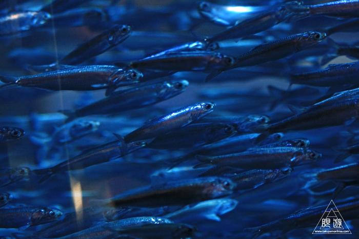 390 Aquarium Of The Bay ~サンフランシスコの水族館~_c0211532_21541021.jpg