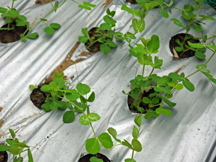 キヌサヤとスナップエンドウの苗を移植:2014・11・11_c0014967_1652193.jpg