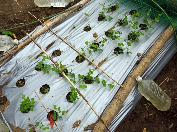 キヌサヤとスナップエンドウの苗を移植:2014・11・11_c0014967_16523470.jpg