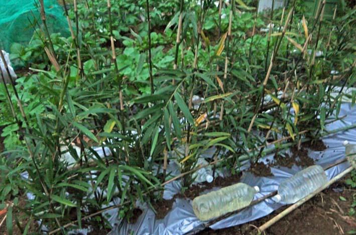 キヌサヤとスナップエンドウの苗を移植:2014・11・11_c0014967_16525963.jpg