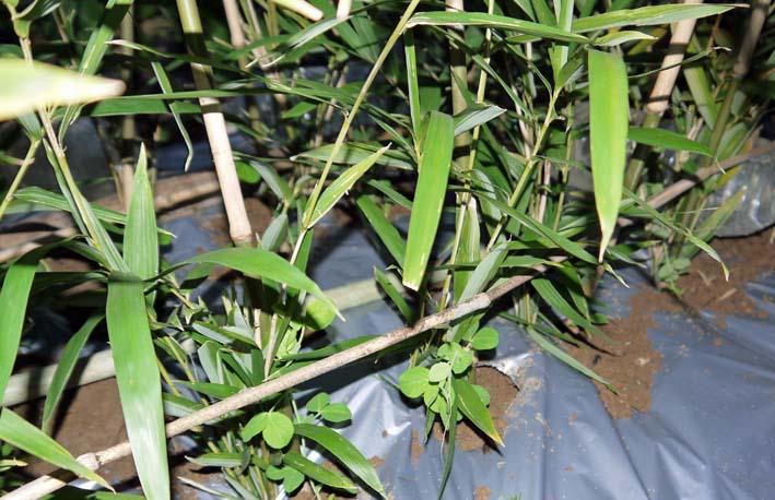 キヌサヤとスナップエンドウの苗を移植:2014・11・11_c0014967_1653678.jpg