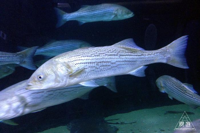390 Aquarium Of The Bay ~サンフランシスコの水族館~_c0211532_04354.jpg